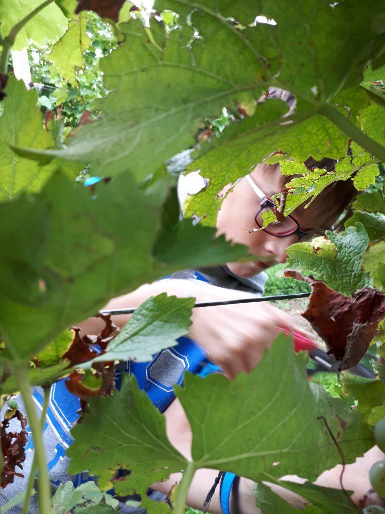 Tehniški dan – obiranje grozdja